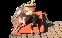 Die Hunde unter den Turmeichen: Baddy und Jenna beim Sonnenbad