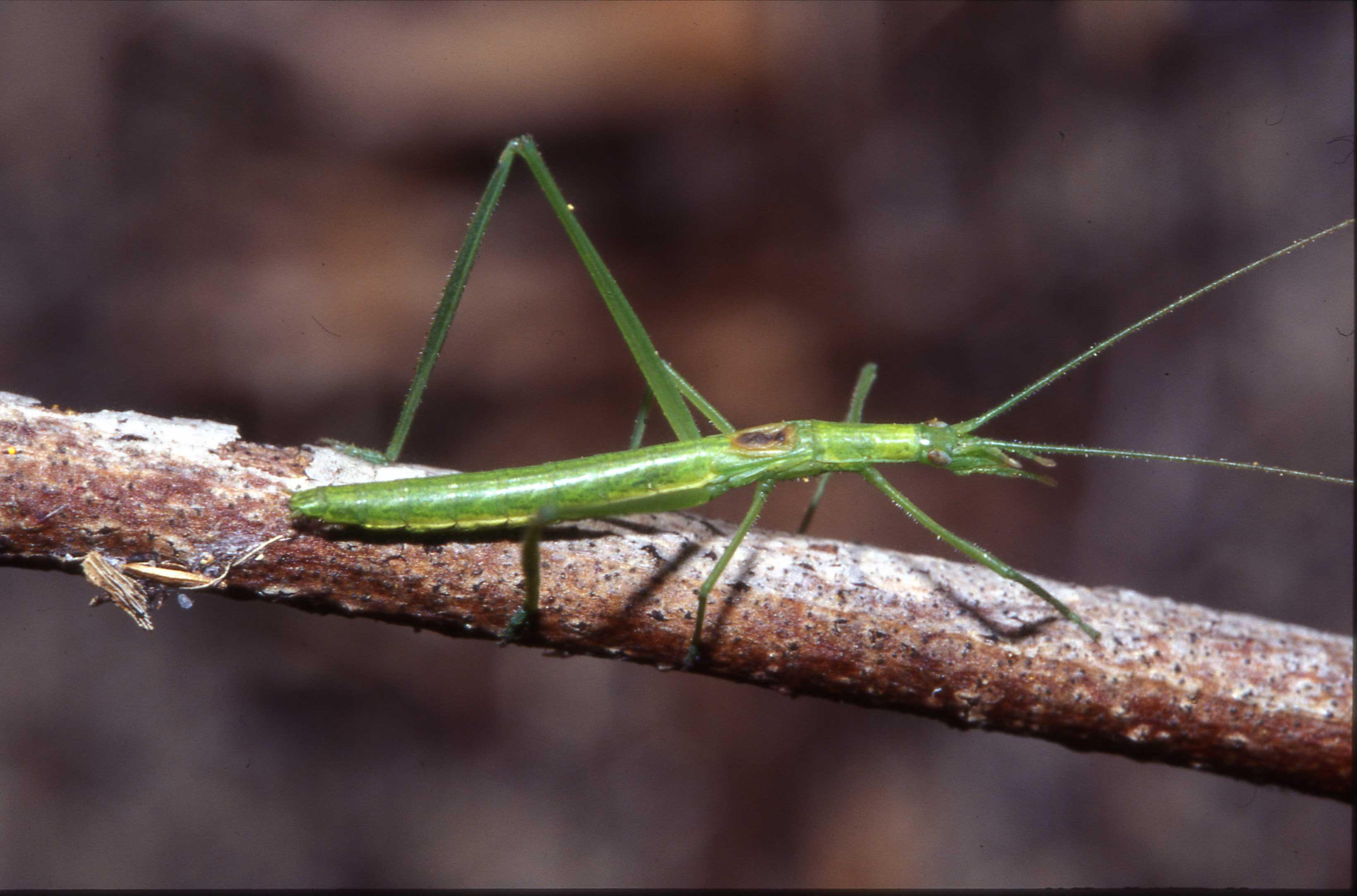 Kawanaphila mirla male