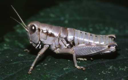 Peripodisma tymphii female