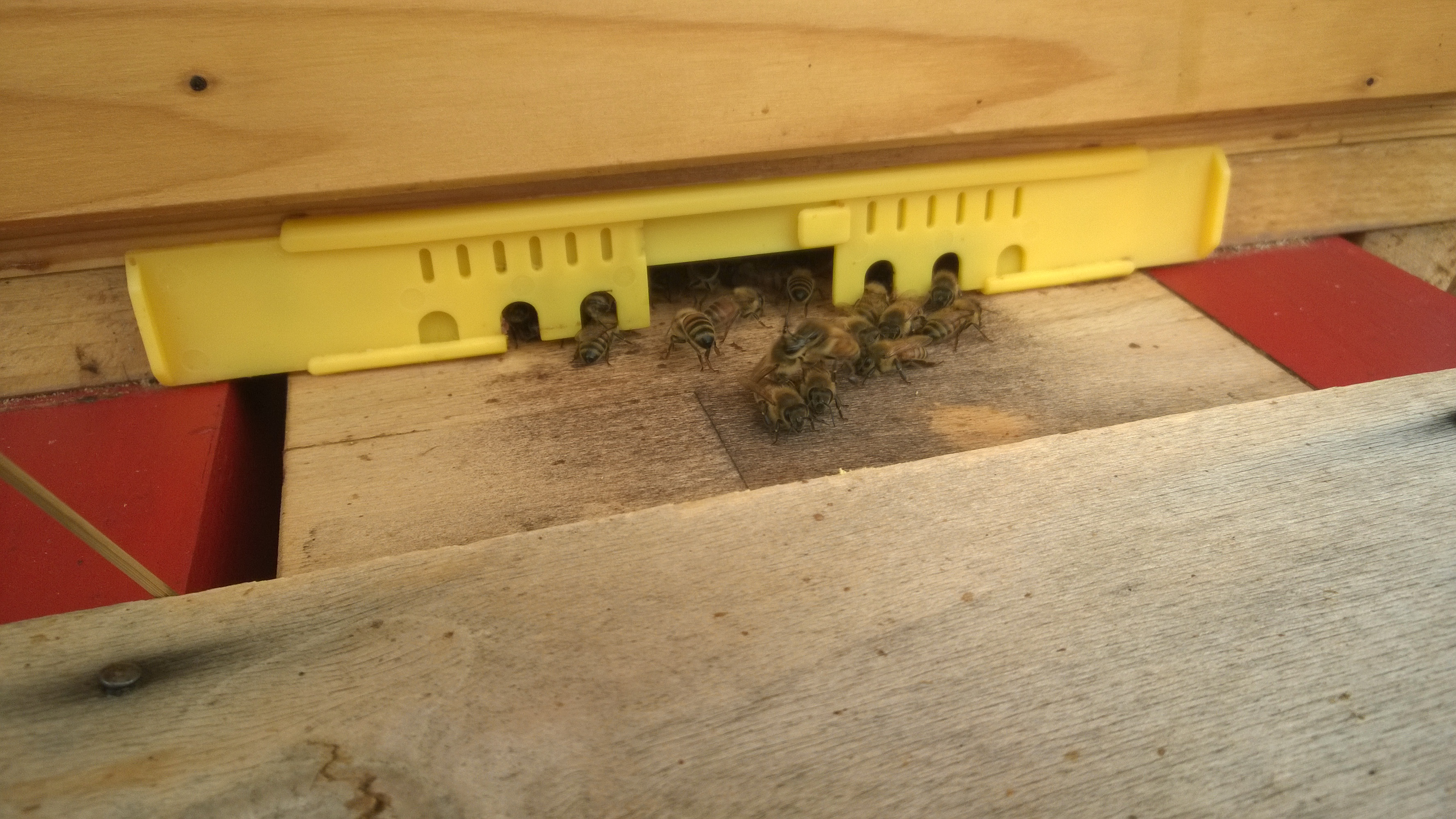 Das Flugloch ist verkleinert, dass die Bienen es ausreichend verteidigen können.