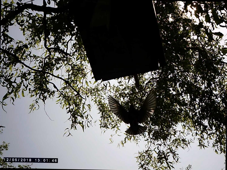 Anflug Altvogel