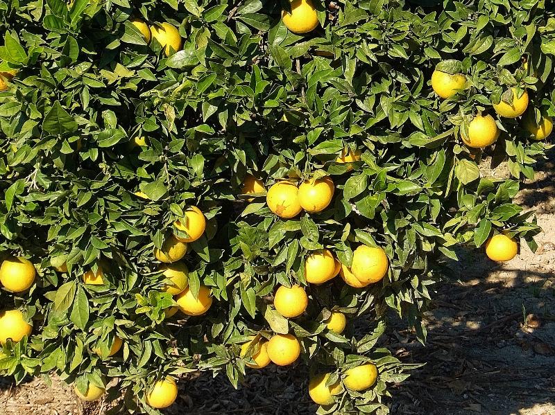 Am Wegesrand wachsen üppig die Apfelsinen