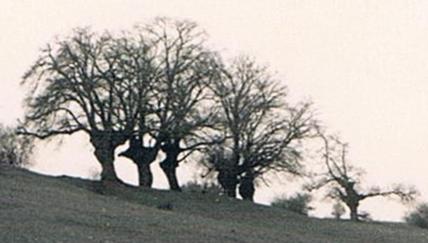 historische Abbildung der Kopflinden auf dem Distelberg von Branderoda