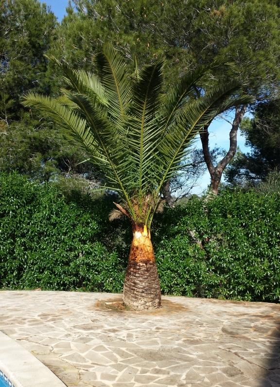 stark befallene Palme direkt nach Behandlung