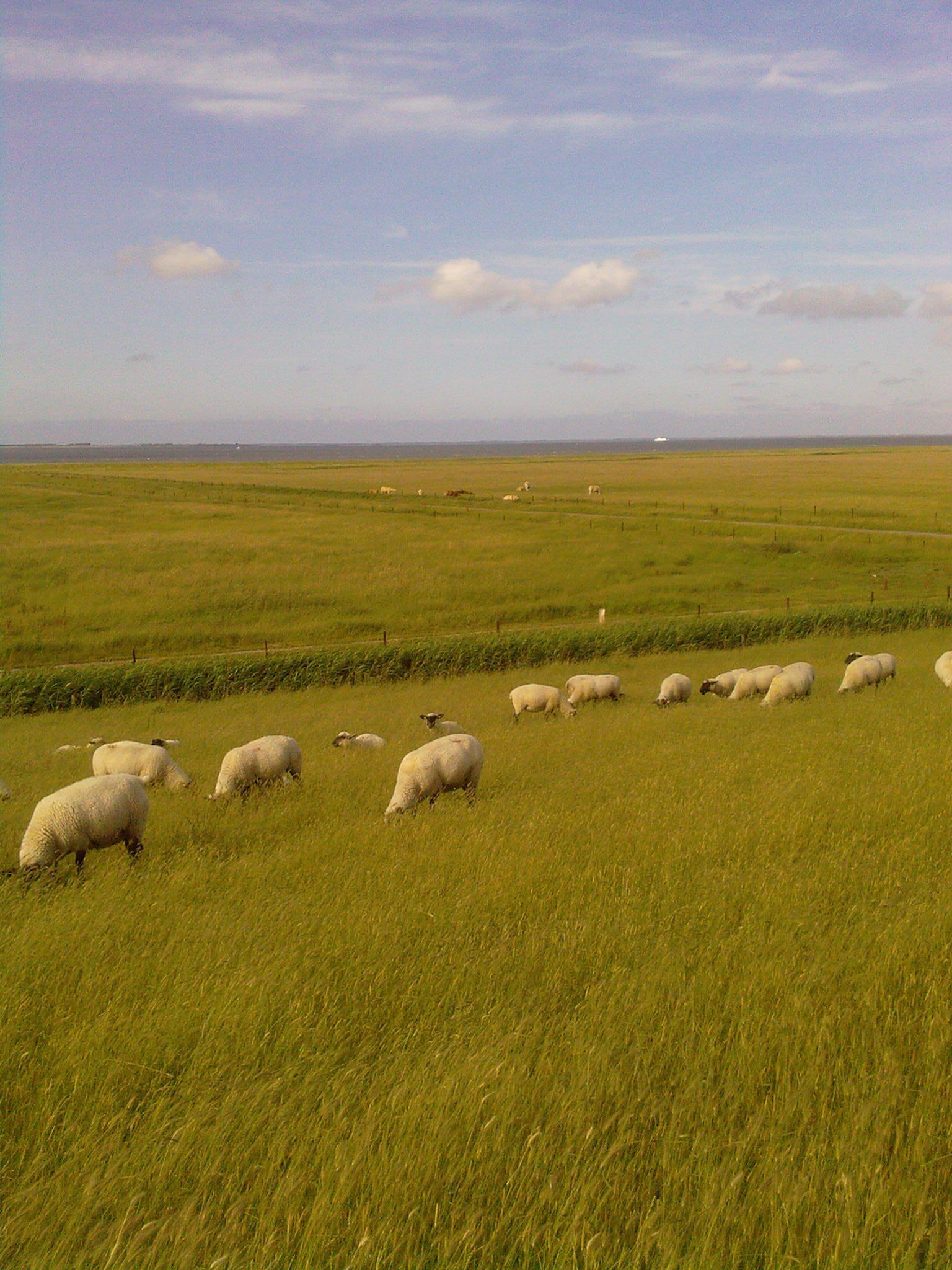 Schafe auf dem Nordseedeich