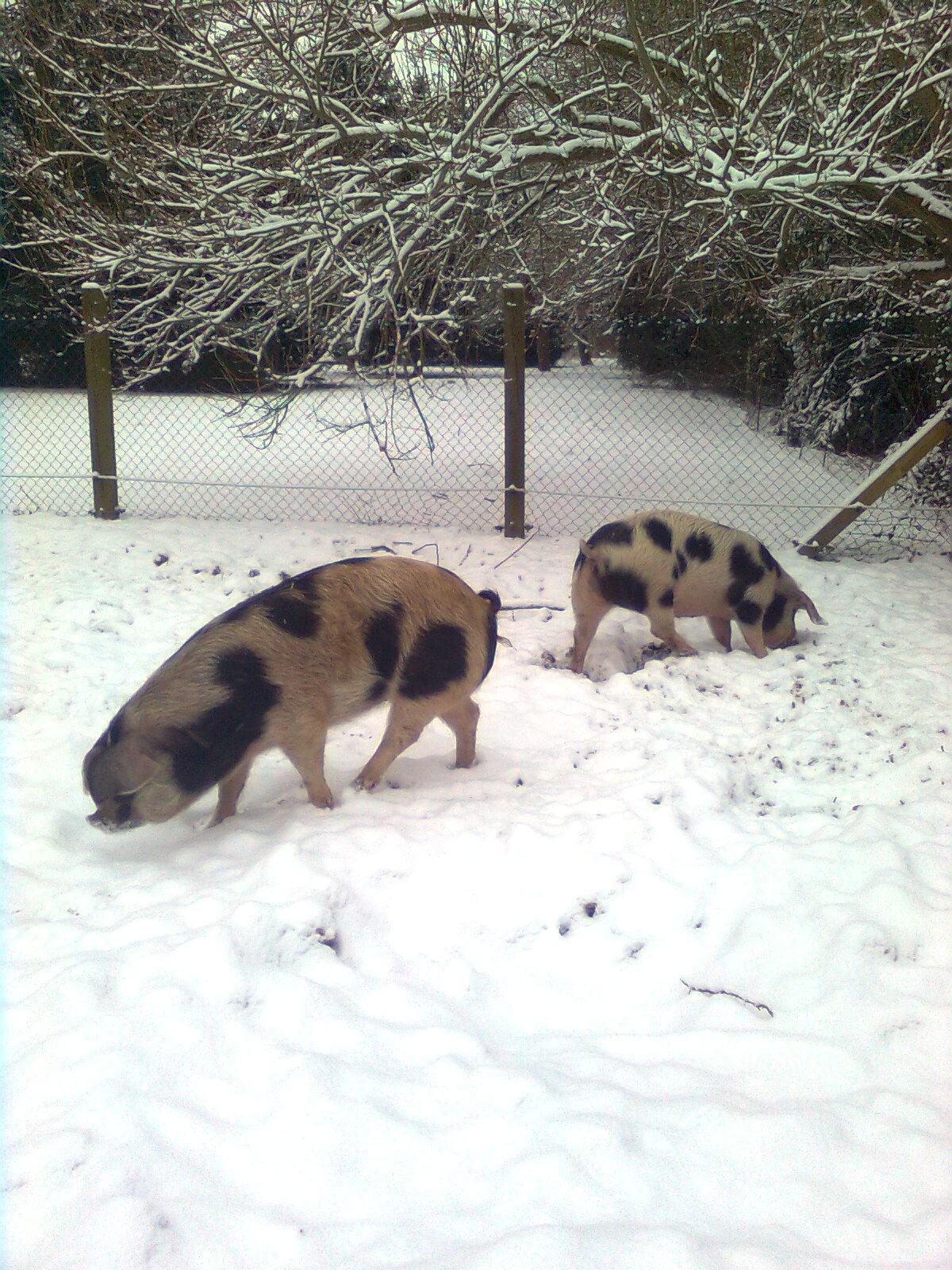Buntes Bentheimer Schwein, die Dicke mit ihrer Schwester Berenike 2013