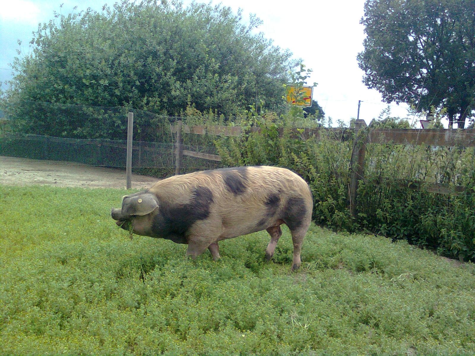 Buntes Bentheimer Schwein, die Dicke. Juli 2015